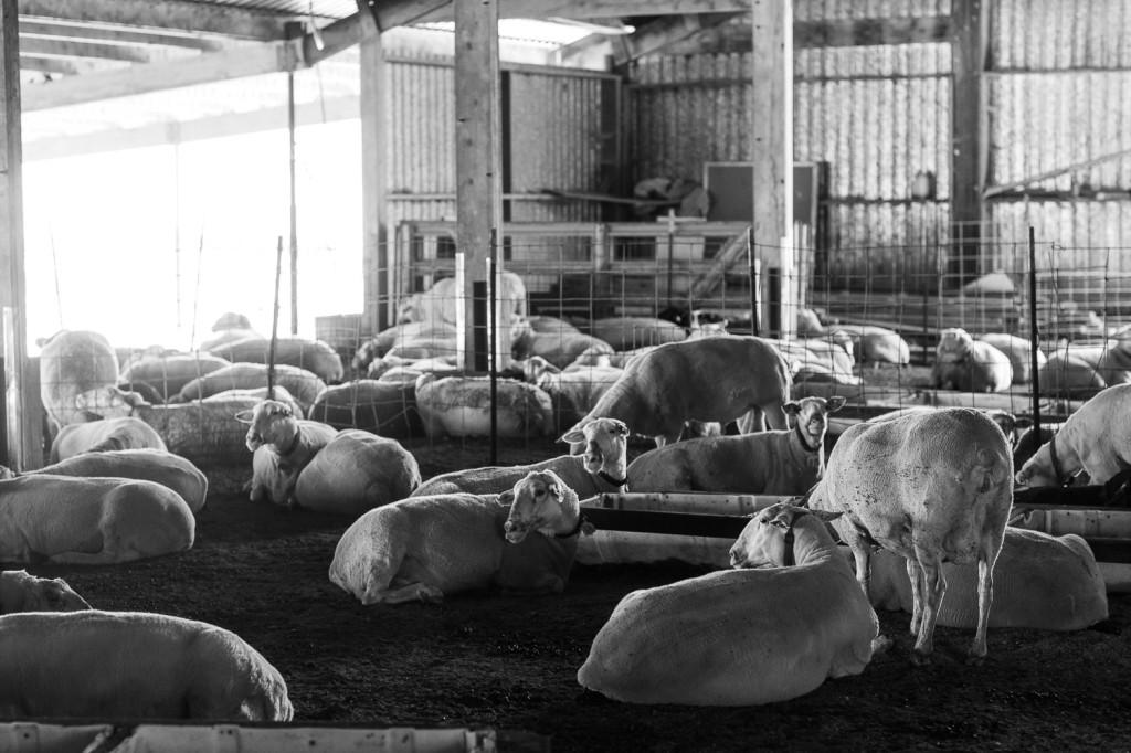 A peek at Bellwether Farms' flock.