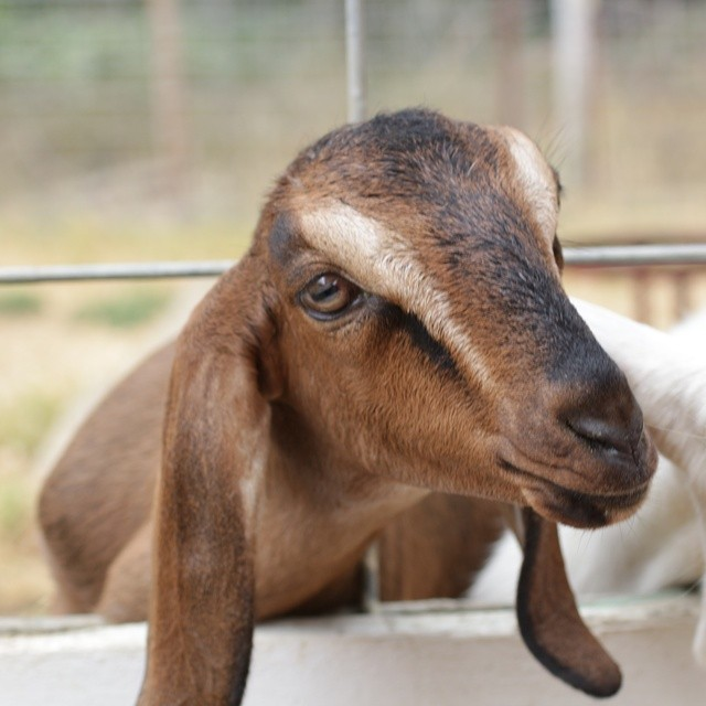 How can you resist that face and those ears? #goats #goatlove #floppyears #Nubians #redwoodhillfarm #California #farm #farmvisit #cheeselife #cheeselove #canikeepone