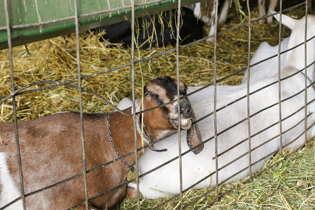 What does a sleeping, snoring goat look like, you ask?