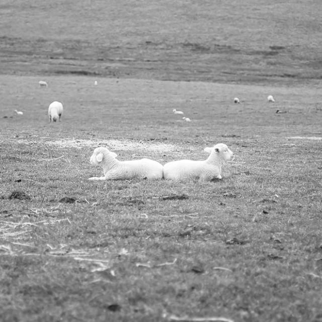 #ivegotyourback. At #marshallhomeranch. #sheep #lambs #cuteness #farmvisit #photography #California #adorable
