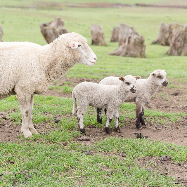 Some #adorable #farm #photos coming your way, from the annual meeting of the @cacheeseguild at #marshallhomeranch in #marin. #California  #sheep #lambs
