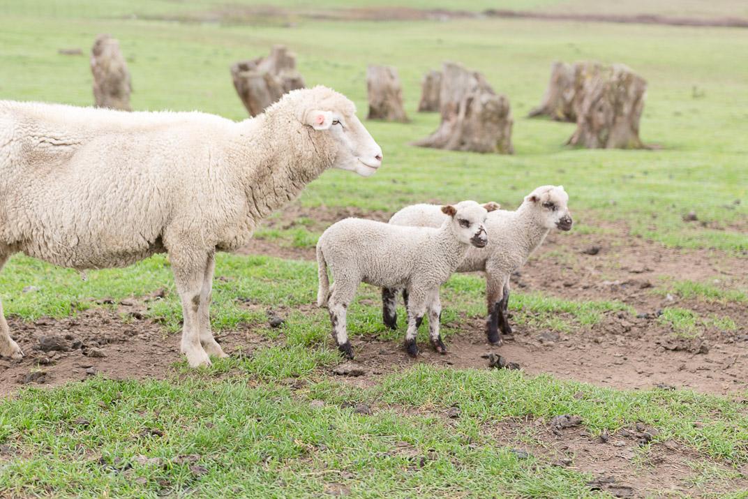 Sheep, adorable sheep.