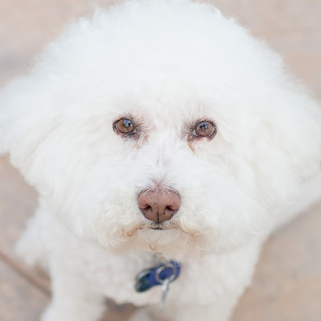 #Indythebichon wants to celebrate #nationalpuppyday, too, even if he's late! He has started posing for me when I point the camera at him! Hi @ruckustheeskie! #rescuedog #bichon #bichonfrise #dogstagram #dogs #rescuedog #instapets #instadogs #furryface #fuzzy #cuteanimals #lifestyleblogger #misscheesemonger #cuddly