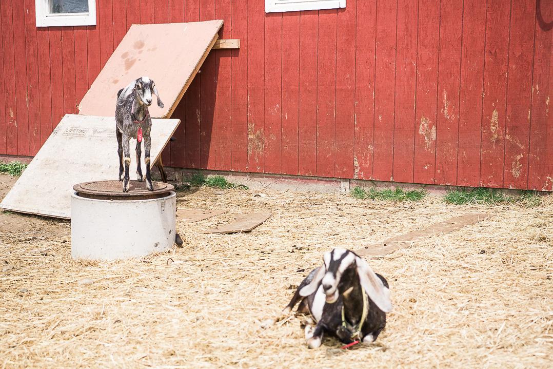 Dancing Goats Dairy in Massachusetts. Food Photographer Vero Kherian.