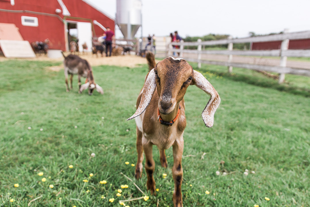 Dancing Goats Dairy in Massachusetts. Food Photographer Vero Kherian.
